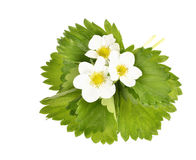 Strawberry flowers and leaves Stock Photo