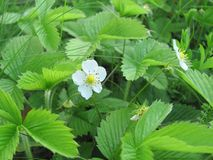 Strawberry flowers and leaves in spring close up. White flower of strawberry and green young leaves in spring. close up stock images