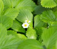 Strawberry flowers in nature Stock Photos