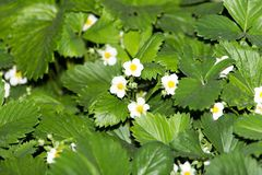 Strawberry flowers in nature Royalty Free Stock Photo