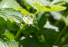 Strawberry flowers in nature Royalty Free Stock Image