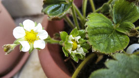 Strawberry flowers. In a pot Royalty Free Stock Photo