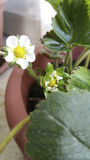 Strawberry flowers. In a pot Stock Photography