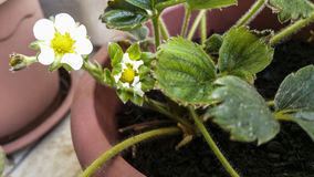 Strawberry flowers. In a pot Royalty Free Stock Image