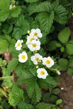 Strawberry. Flowers in the spring season Royalty Free Stock Image