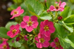 Strawberry plant with pink flowers stock image image of dark pink strawberry plant strawberry flowers stock photography mightylinksfo Gallery