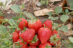 Strawberry ,focus on group of strawberry. Strawberry ,group of fresh strawberries in natural stock images