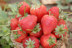 Free Strawberry ,focus On Group Of Strawberries In Basket On Natural Royalty Free Stock Images - 88970789