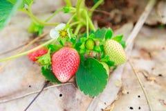 Strawberry fram Chiangmai Stock Image