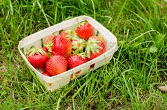 Strawberry. Fresh berries of strawberry on a green grass closeup. Selective focus. Strawberry in small basket in a garden royalty free stock images