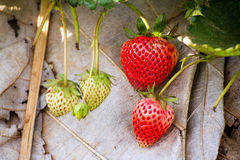 Strawberry fresh from the farm Royalty Free Stock Images