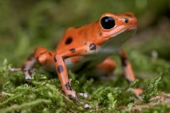 Strawberry frog. The strawberry frog , Oophaga pumilio, is a small but dangerous dartfrog from central (Costa Rica) America Stock Photography