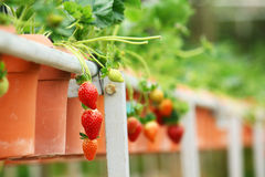 Strawberry fruit agriculture Royalty Free Stock Images