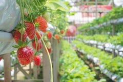 Strawberry fruit close up in nursery farming Stock Photos