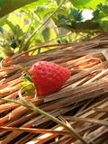 Strawberry. Fruit , Doi Ang Khang is located Chaing Mai, Thailand, beauty,chaing mai ,straw , green leaves ,sweet ,yammy ,In morning,strawberry farm Stock Images