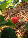 Strawberry. Fruit, fruit thailand, vegetables, wonderfull color, straw, red, green,Doi Ang Khang is located 163 kilometers from Chaing Mai,chaing mai, Doi ang Stock Photo