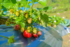 Strawberry fruit. Grow in farm Stock Images