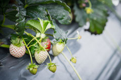 Strawberry fruit grows in the plantation.  Stock Images