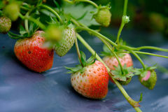 Strawberry fruit grows in the plantation.  Stock Image