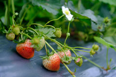Strawberry fruit grows in the plantation.  Royalty Free Stock Photos