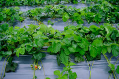 Strawberry fruit grows in the plantation.  Royalty Free Stock Photography