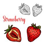 Strawberry fruit isolated sketch of fresh berry. Strawberry fruit isolated sketch of garden or wild forest berry. Whole and half of ripe red strawberry with vector illustration