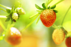 Strawberry fruits on the branch Royalty Free Stock Image