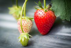 Strawberry fruits on the branch Royalty Free Stock Photo