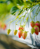 Strawberry fruits on the branch at the morning Stock Photos