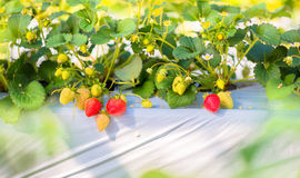 Strawberry fruits on the branch at the morning Royalty Free Stock Photos