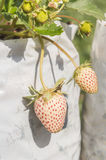 Strawberry fruits on the branch Stock Images