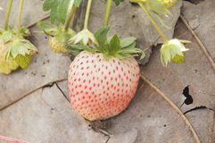 Strawberry fruits on the branch Stock Image