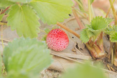 Strawberry fruits on the branch Royalty Free Stock Photos