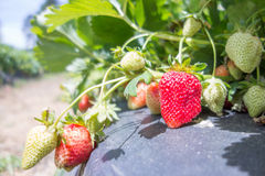 Strawberry fruits the branch in the planting strawberry Royalty Free Stock Images
