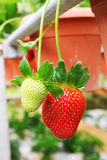 Strawberry fruits Stock Image