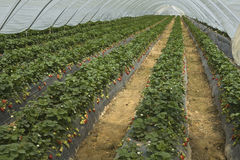 Strawberry furrows Stock Images