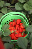 Strawberry from garden. Fresh strawberry fruits in the basket from garden Stock Photo
