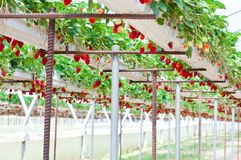 Strawberry garden Stock Image