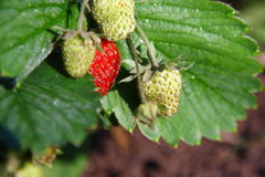 Strawberry in a garden. Ripe and unripe strawberry in a garden Royalty Free Stock Photo