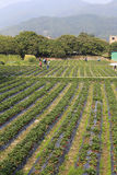 Strawberry garden in amoy city, china Royalty Free Stock Photo
