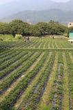 Strawberry garden in amoy city, china Royalty Free Stock Photo