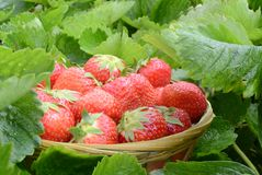 Strawberry in garden Stock Photos
