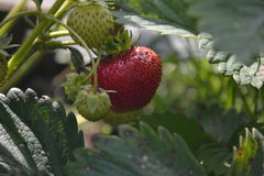 Strawberry on a garden bed Royalty Free Stock Image