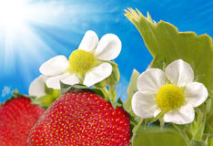 Strawberry in the garden on a blue sky background Stock Photos
