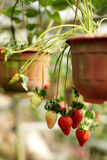 Strawberry in garden. Bunch of fresh strawberry in garden Royalty Free Stock Images