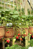 Strawberry in garden. Bunch of fresh strawberry in garden Stock Photos