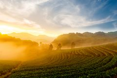 Strawberry garden at Doi Ang Khang , Chiang Mai, Thailand. Angkhang, asia, beautiful, beauty, cloud, cold, culture, farm, farming, field, flora, fog, forest stock images
