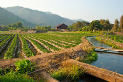 Strawberry garden. And irrigation canel Royalty Free Stock Photo