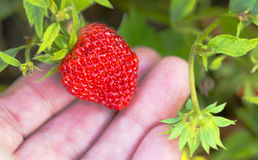 Strawberry garden lies at their fingertips Royalty Free Stock Photo