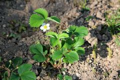 Strawberry or Garden strawberry plant with pure white flowers surrounded with dark green leaves and dry soil planted in local. Garden on warm sunny spring day royalty free stock image